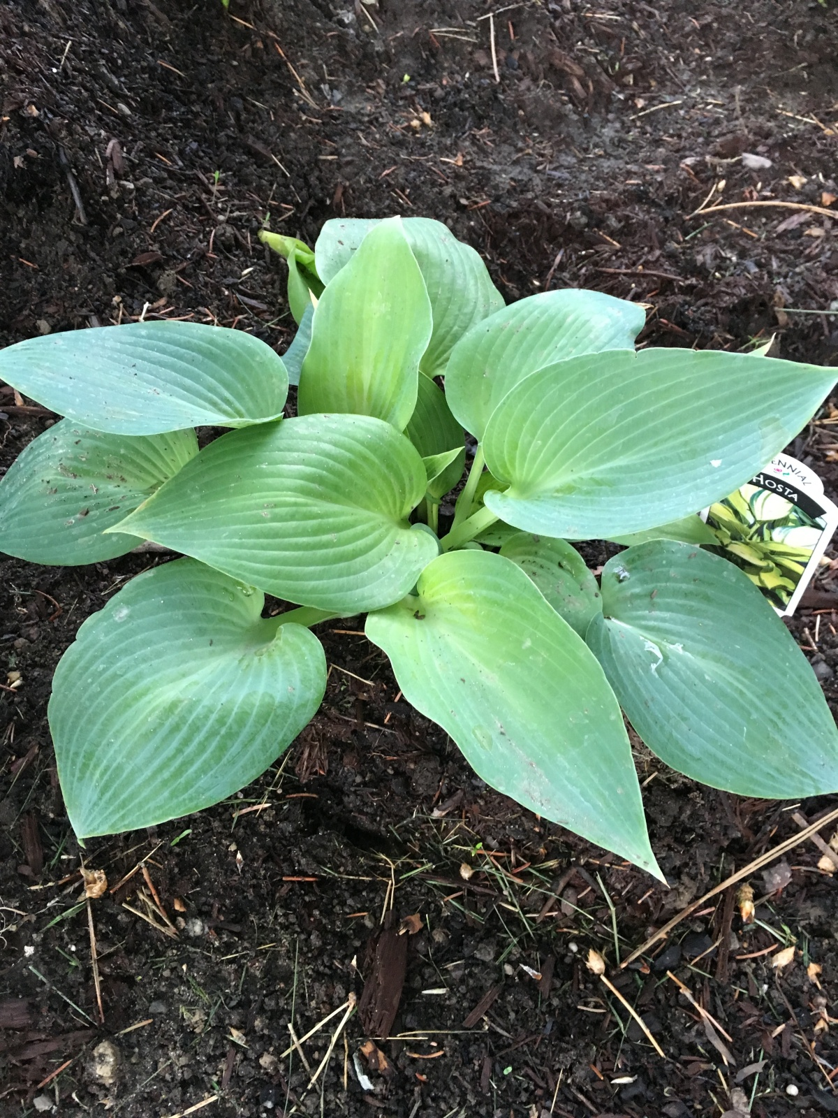 I love my Hostas!